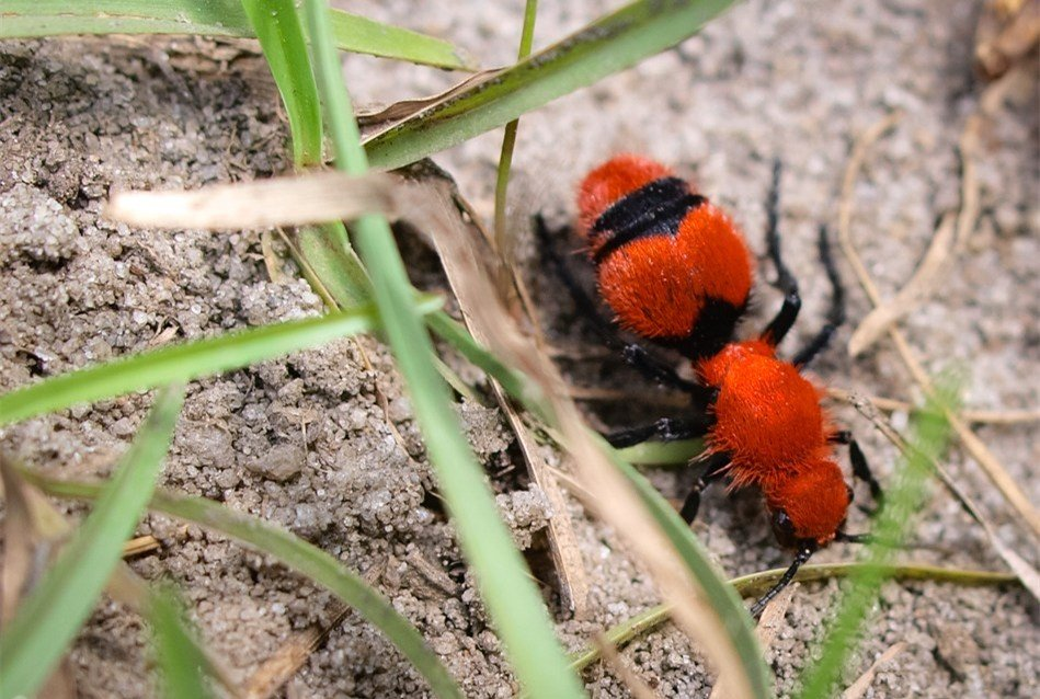What Are Red Velvet Ants - Image By Pestwiki
