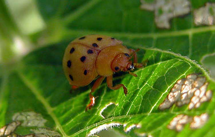 What Do Bean Beetles Eating - Image By epicgardening