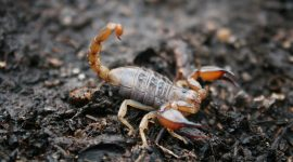 How To Repel Scorpions Naturally