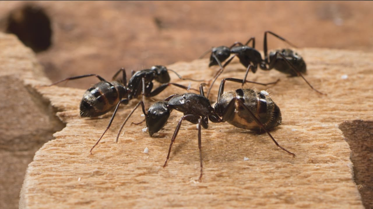 Why Have Ants Infested Your Carpet - Image By carpet vidalondon