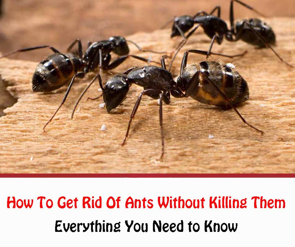 get Rid Of Ants Without Killing Them