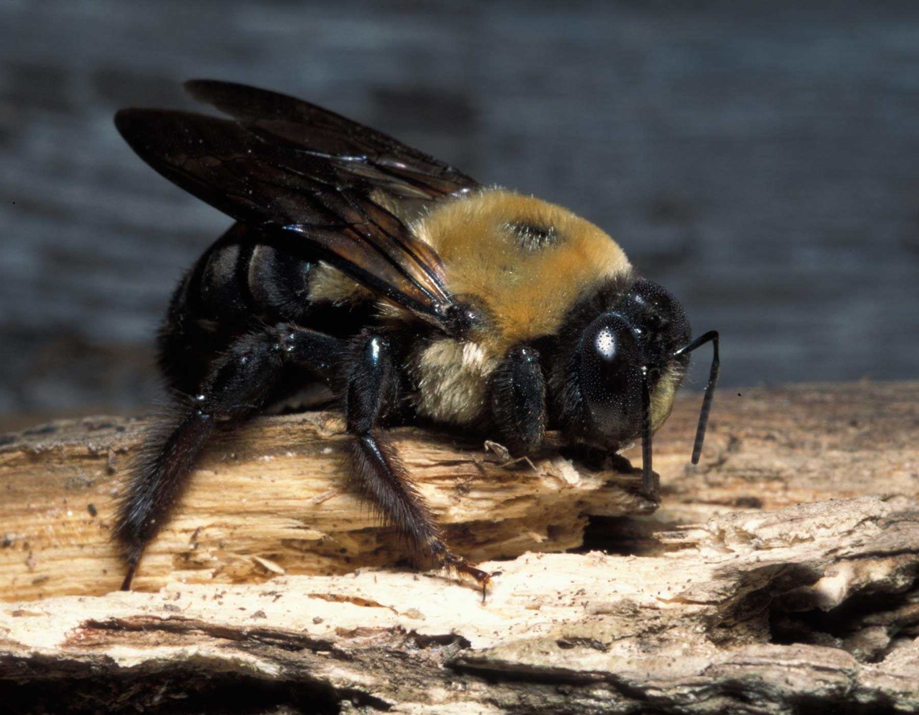 Are Carpenter Bees Harmful - Image By mo gov