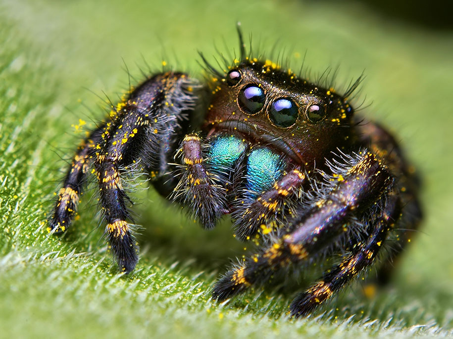 Are jumping spiders aggressive - Image By demilked