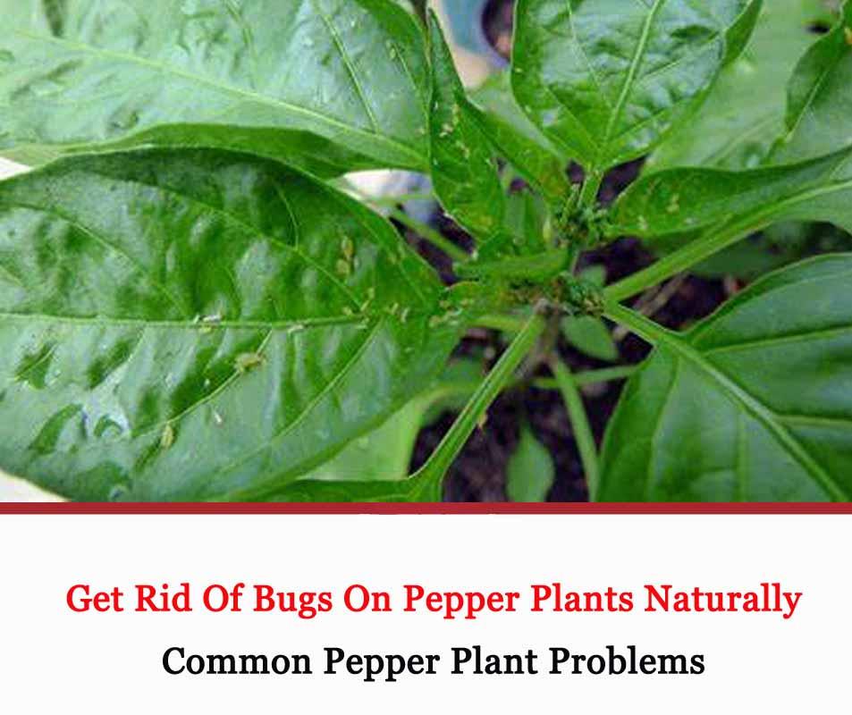 Bugs On Pepper Plants 2021