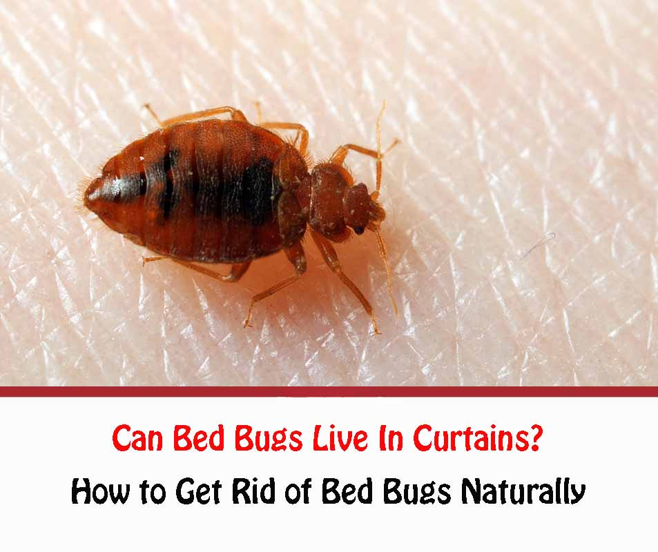 Can Bed Bugs Live In Curtains?