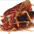 Can You Stop Bed Bugs from Reproducing - Image By bedbugblog