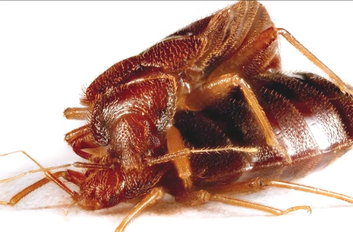 Can You Stop Bed Bugs from Reproducing