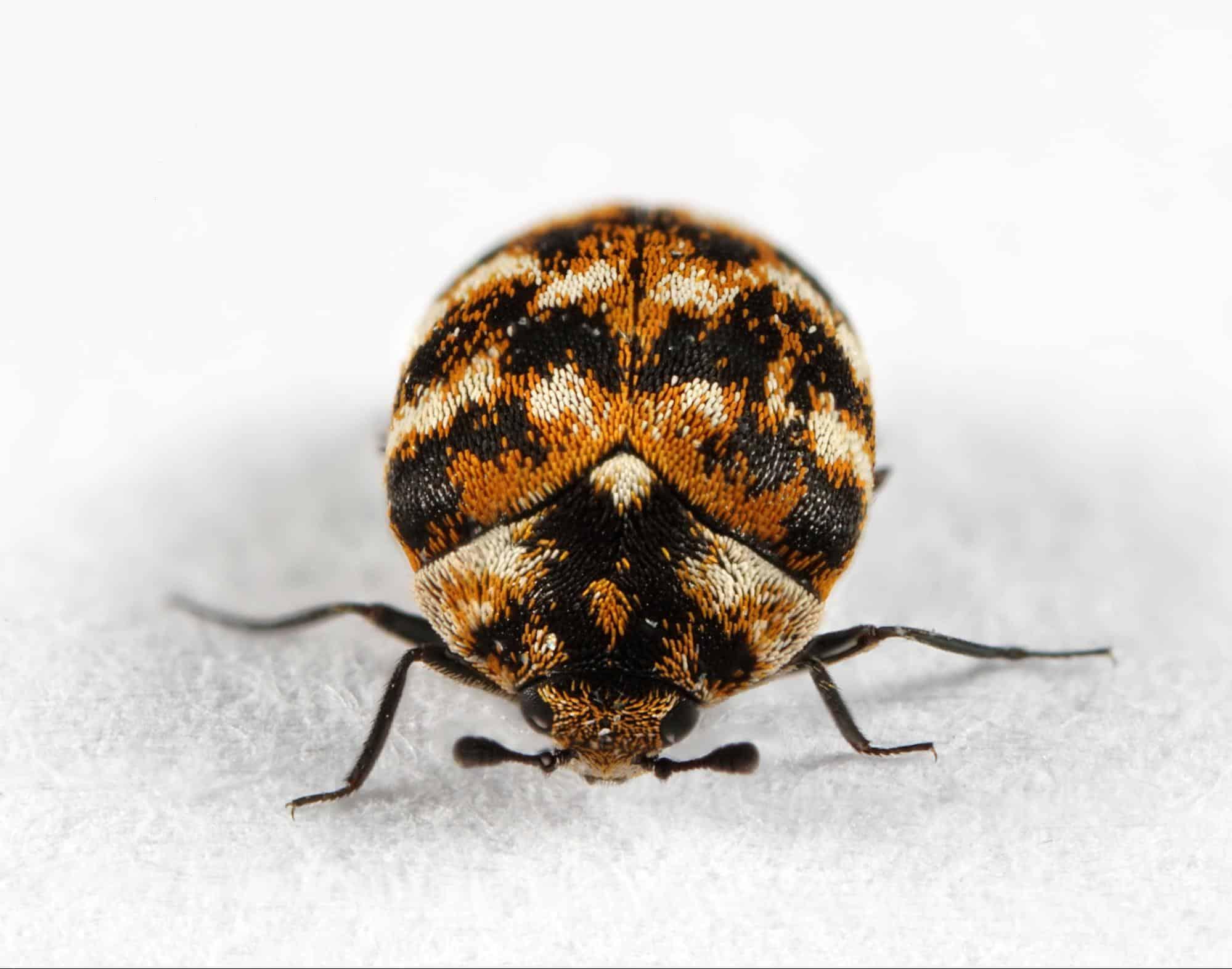Carpet Beetles 2021