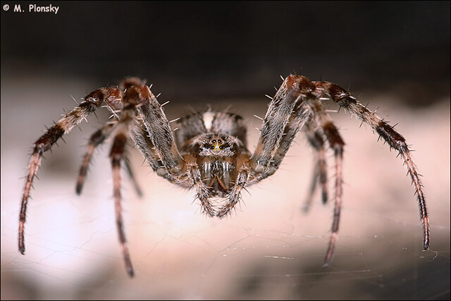 Do Barn Spiders Bite - Image By Flickr