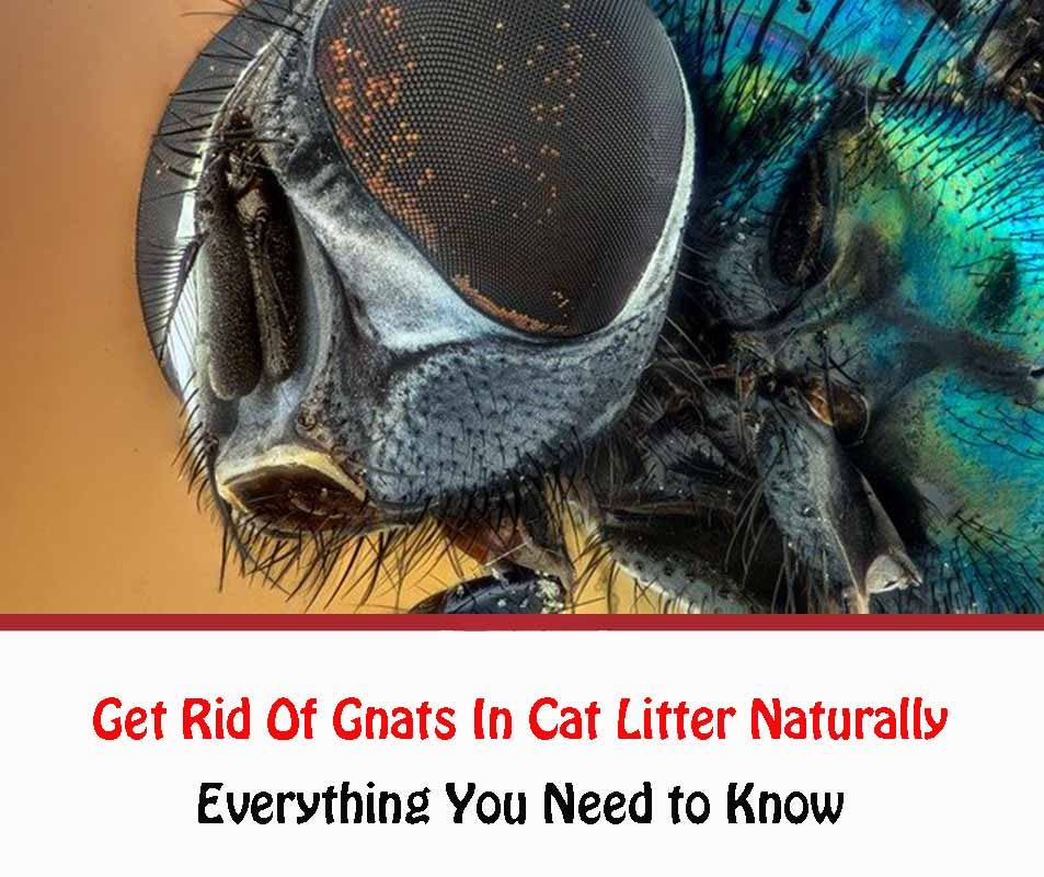 How to Get Rid Of Gnats In Cat Litter Naturally 2021