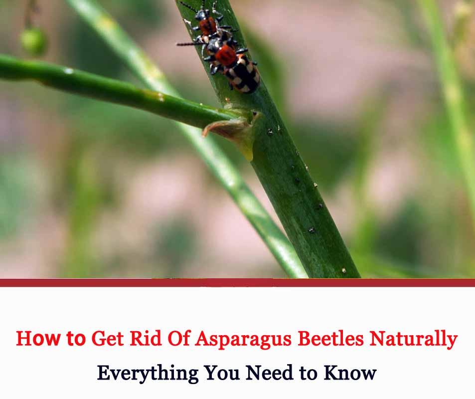 Get Rid of Asparagus Beetles
