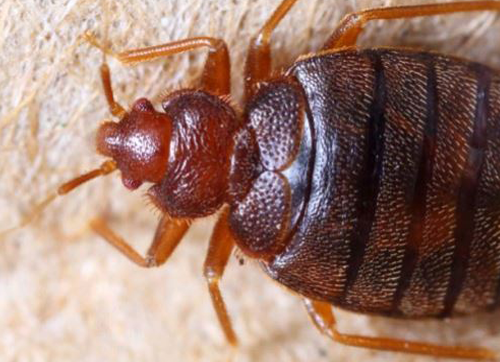 How Fast Do Bed Bugs Move - Image By batzner