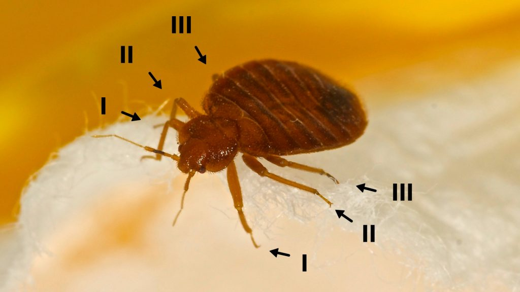 How Many Legs Do Bed Bugs Have?