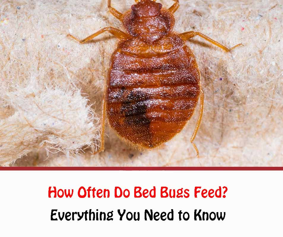 How Often Do Bed Bugs Feed 2021