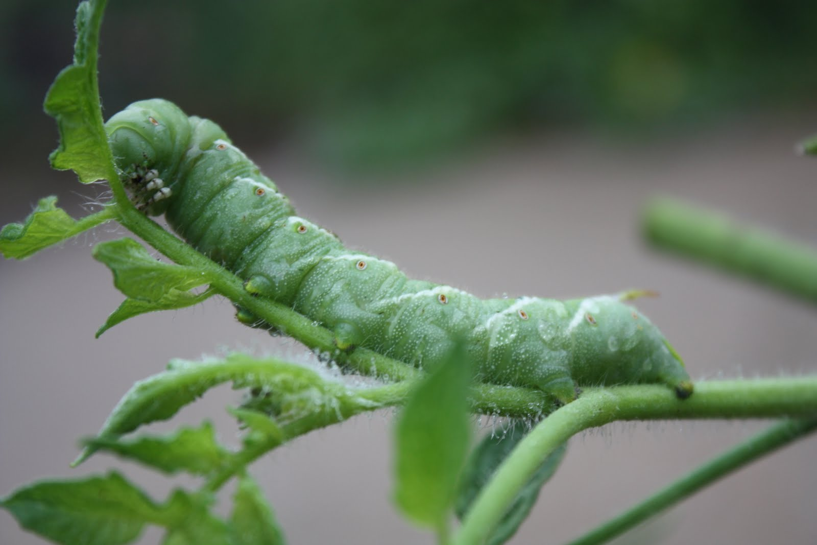 How To Eliminate Tomato Hornworms Naturally
