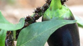 Bugs On Pepper Plants: How To Get Rid Of Bugs On Pepper Plants Naturally