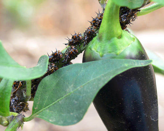 How To Get Rid Of Bugs On Pepper Plants - Image By bugguide