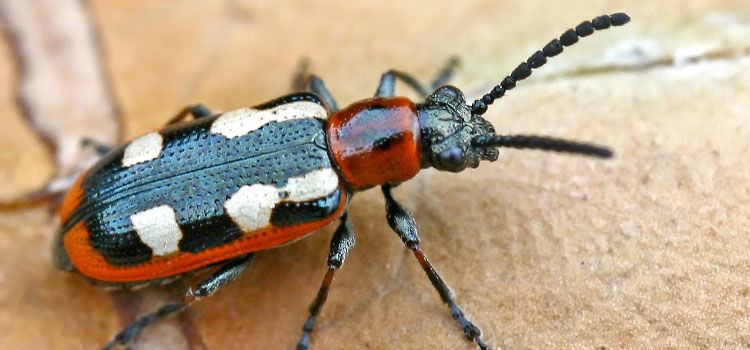 How To Get Rid Of Asparagus Beetles Naturally