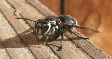 Bald-Faced Hornets: How To Get Rid Of Bald-Faced Hornets Naturally