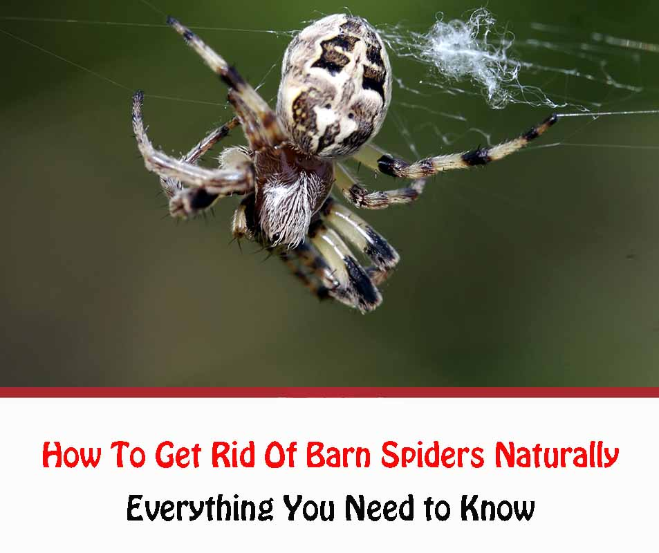 How To Get Rid Of Barn Spiders Naturally
