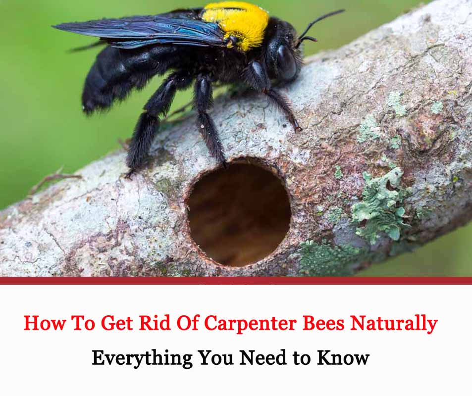 How To Get Rid Of Carpenter Bee Naturally