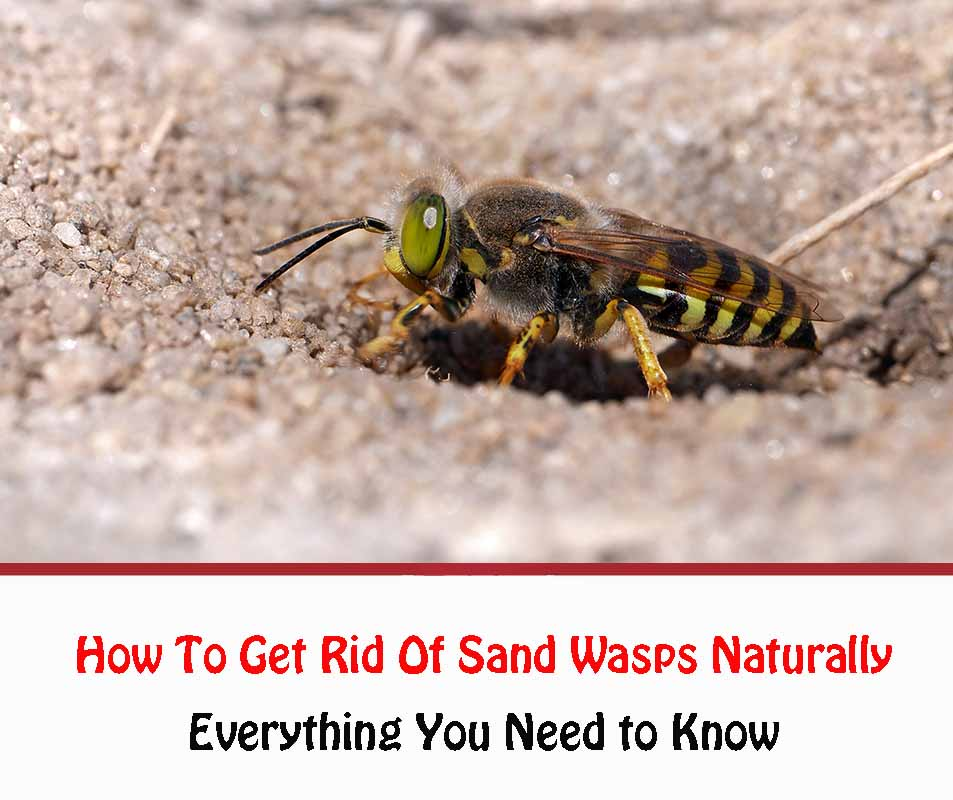 How To Get Rid Of Sand Wasps Naturally