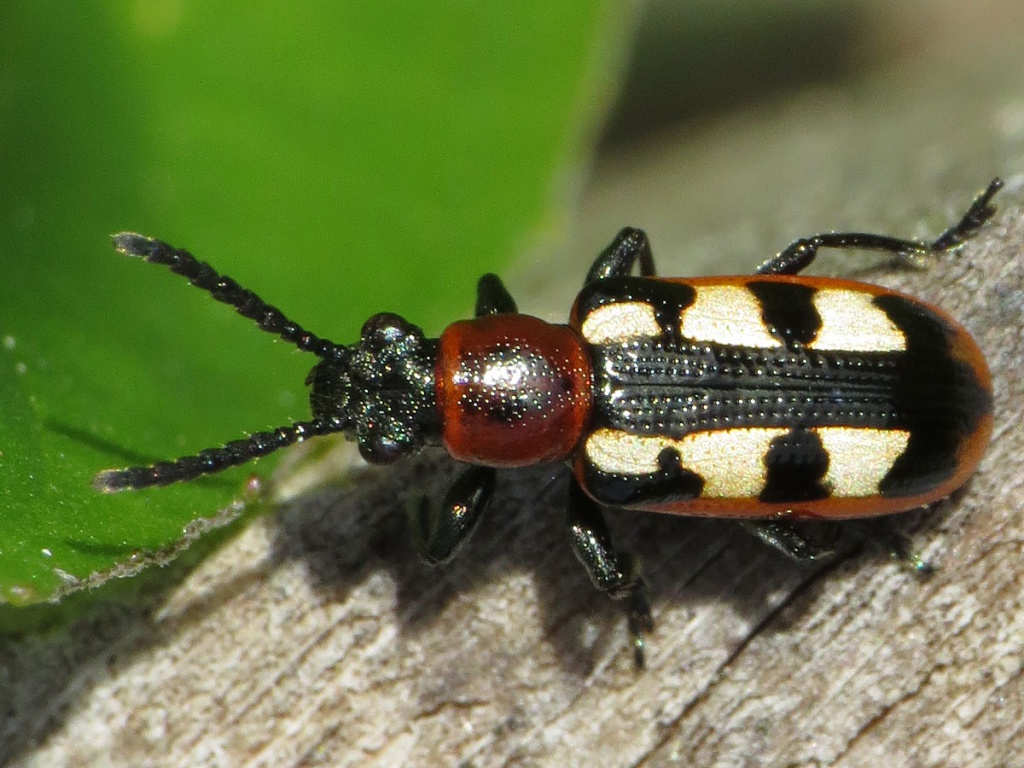 How To Identify Asparagus Beetles - Image By naturespot