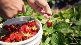 How To Stop Strawberries From Being Eaten