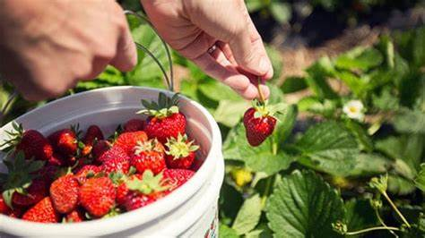 How To Stop Strawberries From Being Eaten By Bugs
