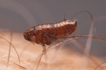 Does Fabulous Kill Fleas?