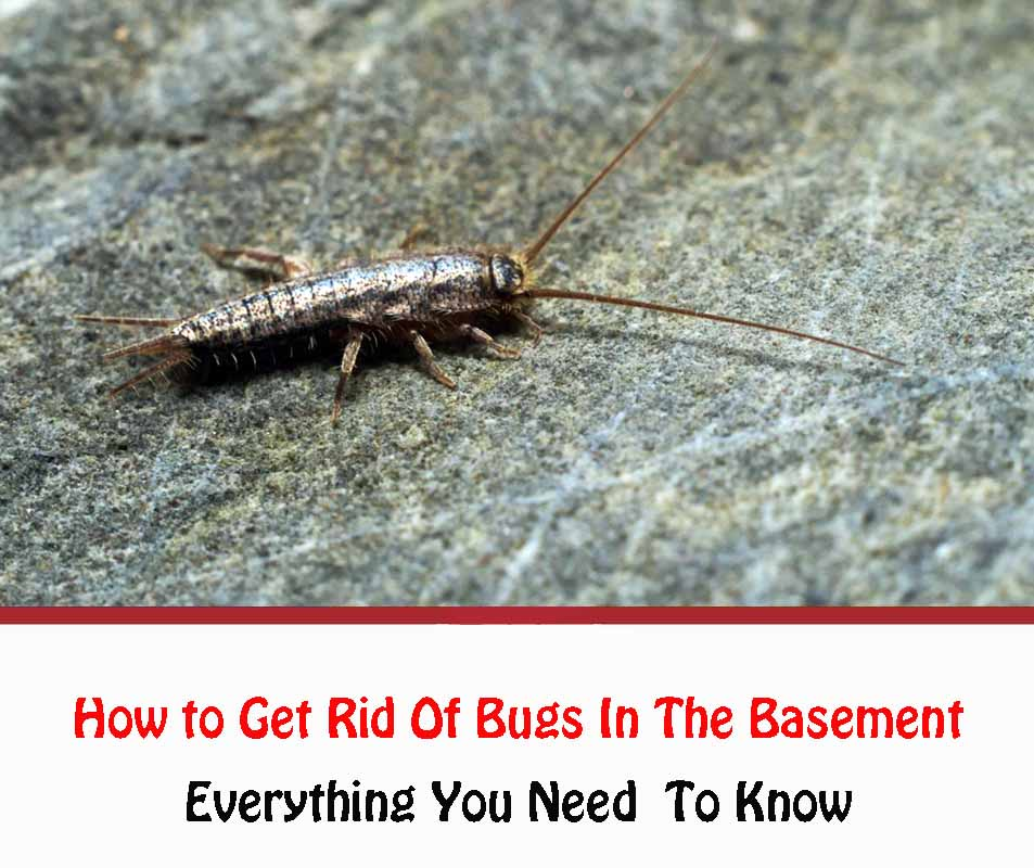 How to Get Rid Of Bugs In The Basement