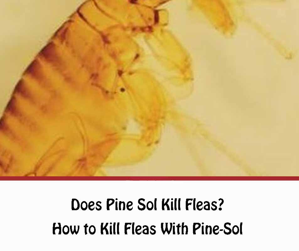 How to Kill Fleas With Pine-Sol