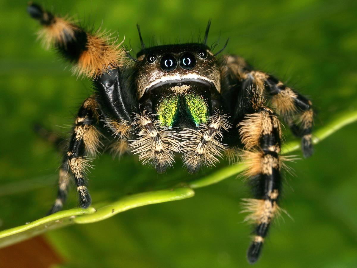 Jumping spider bite symptoms