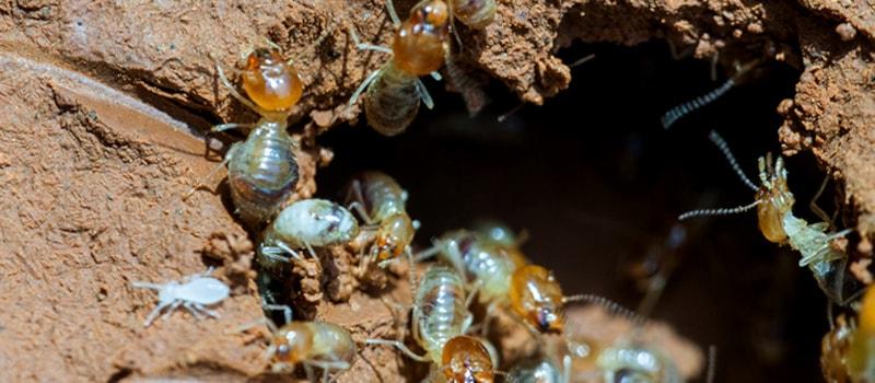 Muddy tunnels of wood termites