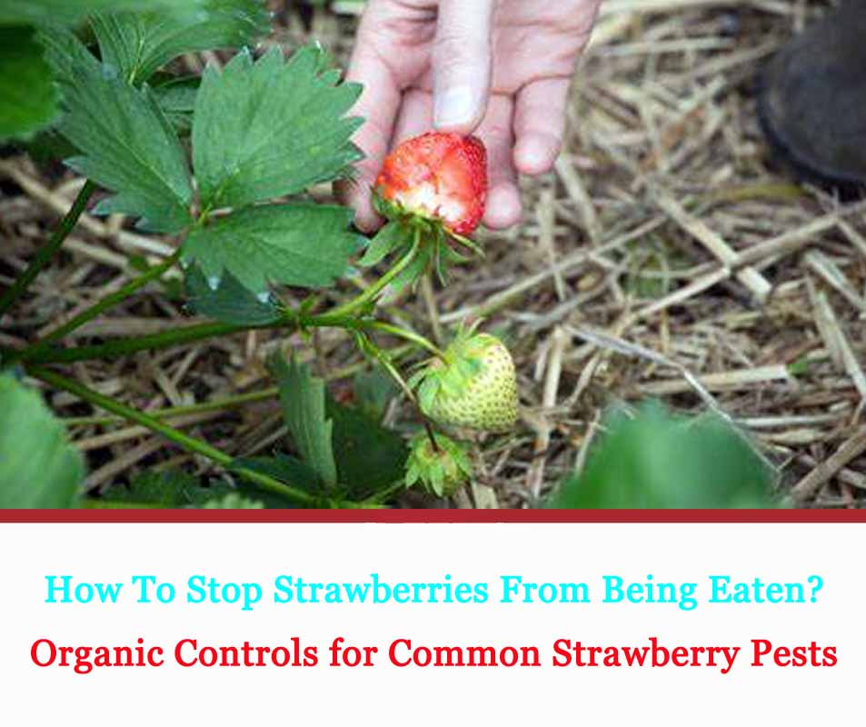 Organic Controls for Common Strawberry Pests