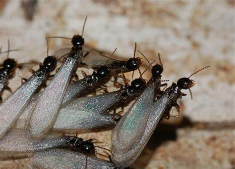 Termites 2021
