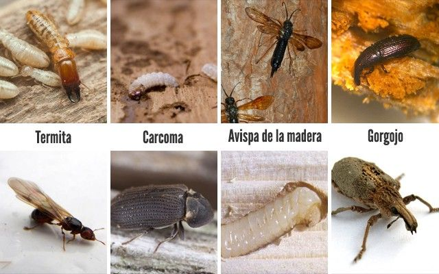 Types of Wood-Gnawing insects