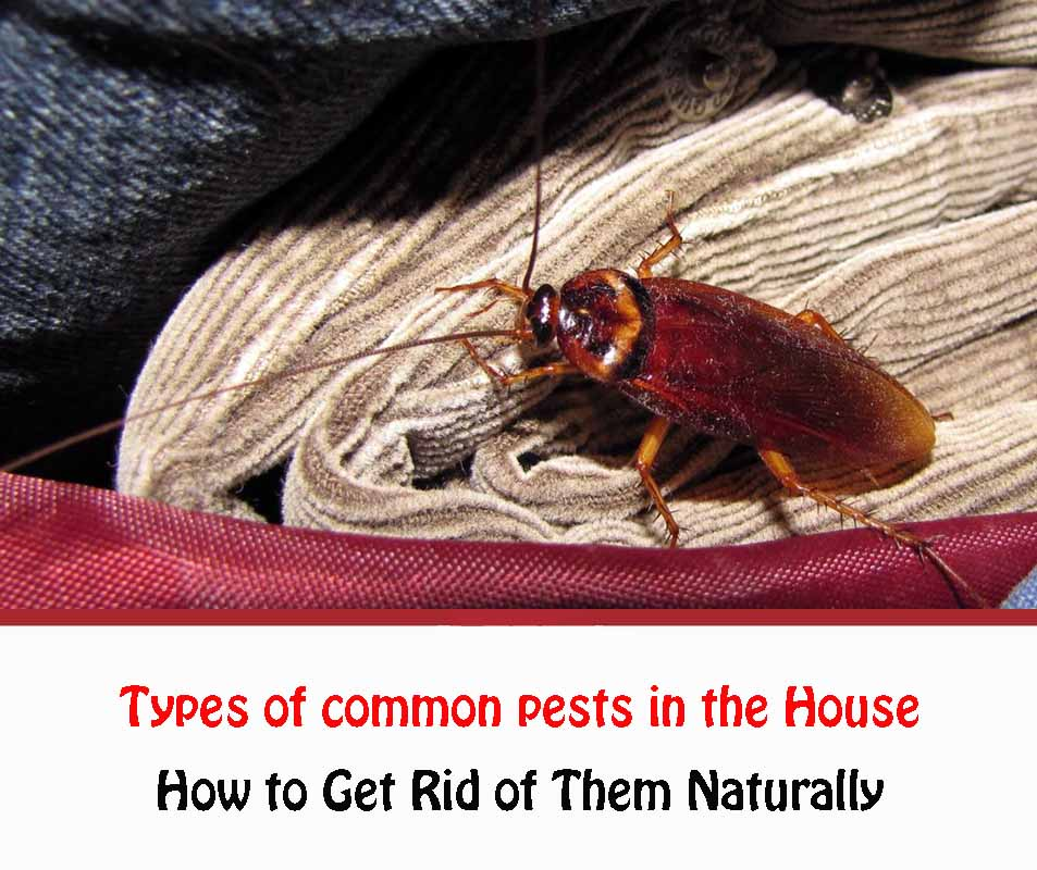 Types of common pests in the House