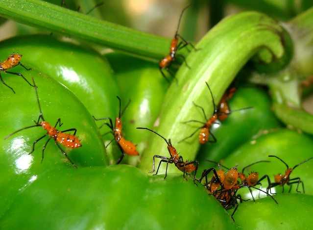 What Are Pepper Plants Often Pest-Infested - Image By flickriver