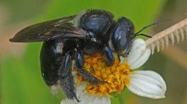 Carpenter Bee: How To Get Rid Of Carpenter Bee Naturally