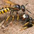 What are sand wasps -Image By bugspray