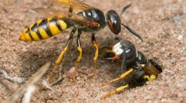 Sand Wasps: How To Get Rid Of Sand Wasps Naturally