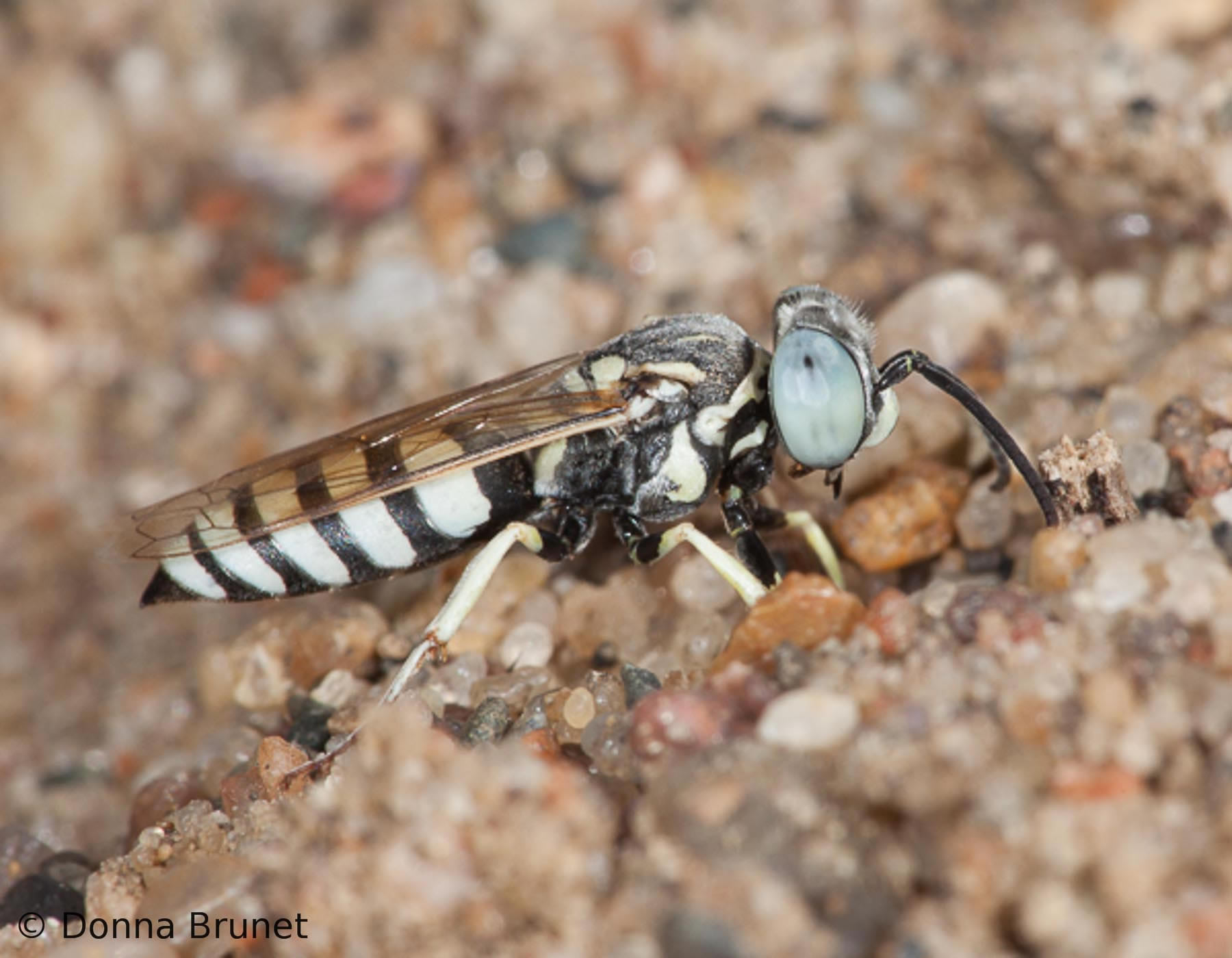 What attracts sand wasps