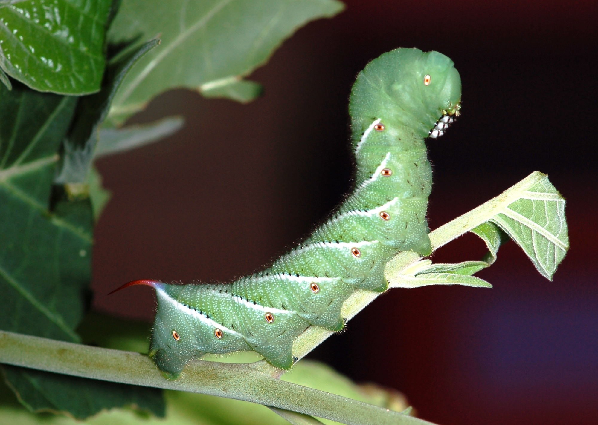 Where do tomato hornworms come from - Image By theresilientactivist
