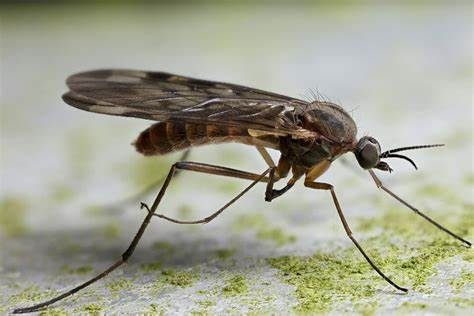 Why Are Gnats Attracted To Faces - Image By scoopify