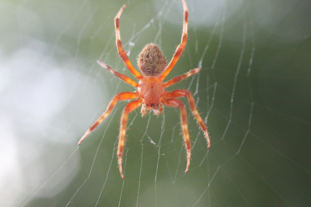 Why do you have barn spiders - Image By Wolfram