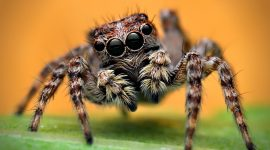 Do Jumping Spiders Bite?