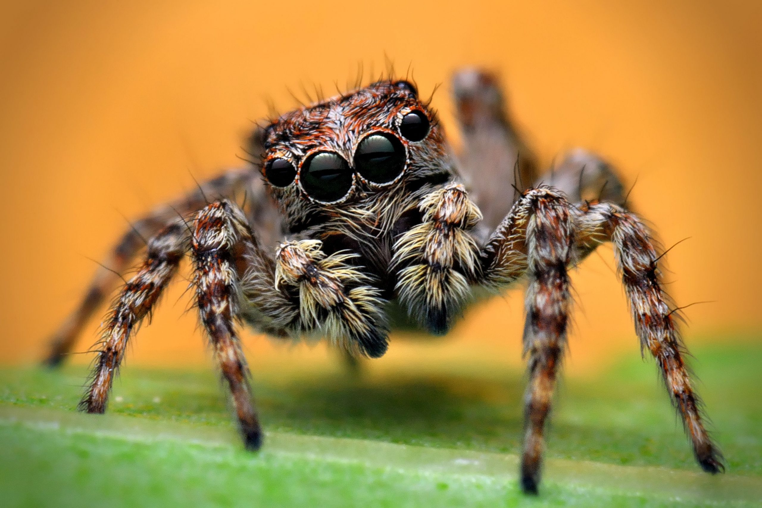 do jumping spiders bite - Image By ThoughtCo