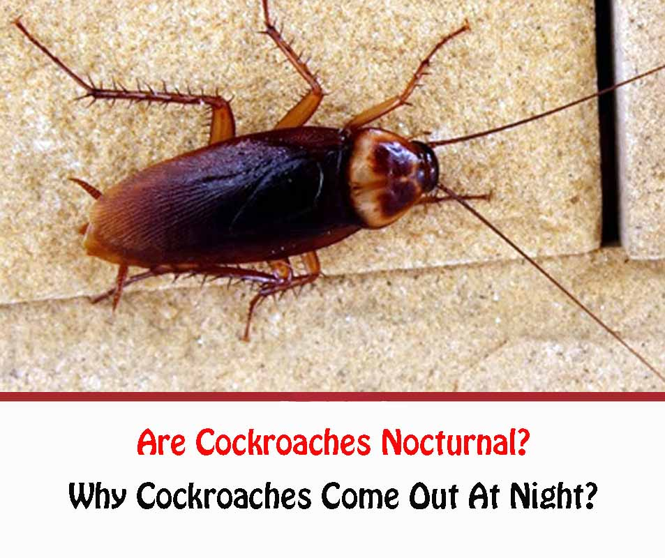 Are Cockroaches Nocturnal?