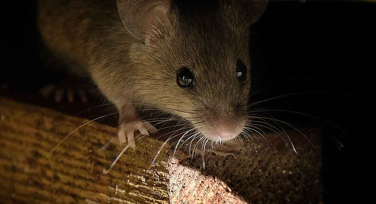 Are Mice In The Attic Dangerous?